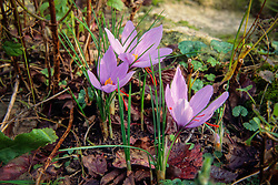 Saffraankrokus, Crocus sativus, autumn flowering crocus
