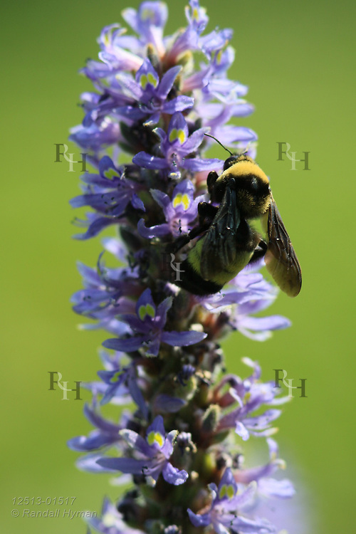 Bee collects pollen and nectar from pickerelweed (Pontederia cordata) at Shaw Nature Reserve, Gray Summit, Missouri.