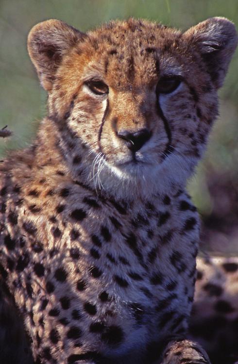 African wildlife, cheetah cub, in Maasai Mara, Kenya, close-up portrait