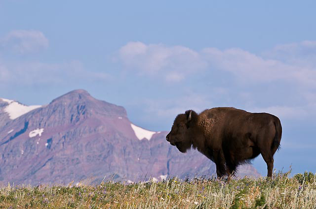 buffalo stands on ridge on the backfeet reservation, montana, glacier national park in the background