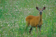 White-tailed deer in daisies - Quebec, Canada