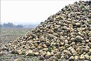 Nederland, Persingen, 10-11-2016Grote stapel, berg, suikerbieten ligt op het land oijdens de suikerbietencampagne.Foto: Flip Franssen