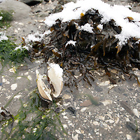 Damariscotta River clam exposed at mean low tide.