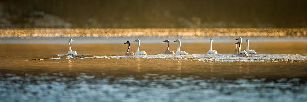 Swan family | Svanefamilie