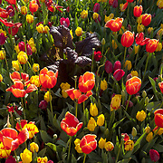 A bed of tulips.
