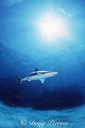 blacktip shark, Carcharhinus limbatus, Walker's Cay, Abacos, Bahamas ( Western Atlantic Ocean )
