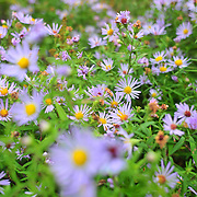 9/29/10 -- Acadia National Park, Maine. Aster.   Country Walkers Sept 26 2010 tour.   Photo by Roger S. Duncan.