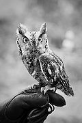 Otis, a Screech Owl, came to the rehab center in 1998 for treatment on a broken wing. Though small, she is feisty, and she chewed off her bandages. Otis flapped around and caused a more serious and permanent injury to her wing in a different place, thus preventing her release back into the wild. <br /> <br /> Male and female Screech Owls look the same in appearance and for years Otis was thought to be a male. When Otis received a male cage mate, she surprised everyone by laying eggs.