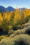 Fall colors on aspen trees near Virginia Creek, Eastern Sierra Mono County, CALIFORNIA