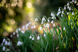 Galanthus nivalis - Snowdrop - growing in Kingscote Wood, Gloucestershire