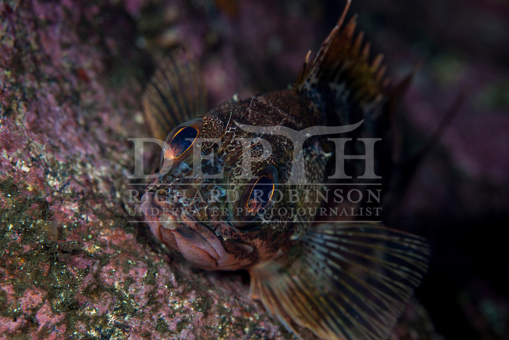 Helicolenus percoides (Jock Stewart, Sea Perch).<br /> Tuesday 08 April 2014<br /> Photograph Richard Robinson © 2014<br /> Dive Number: 521<br /> Site: China Shop, South End of Elizabeth Island,  Doubtful Sound, Fiordland.<br /> Boat: Tutoko<br /> Dive Ian Skipworth<br /> Time: 08:56<br /> Temperature:  14.8<br /> Rebreather: Inspiration Vision. Total Time On Unit: 329:09 hh:mm<br /> Maximum Depth: 25.4 meters<br /> Bottom Time: 130 minutes<br /> Mix: 21<br /> CNS: 52%<br /> OTU: 59%<br /> Bottom Time to Date: 35,420 minutes<br /> Cumulative Time: 35,550 minutes