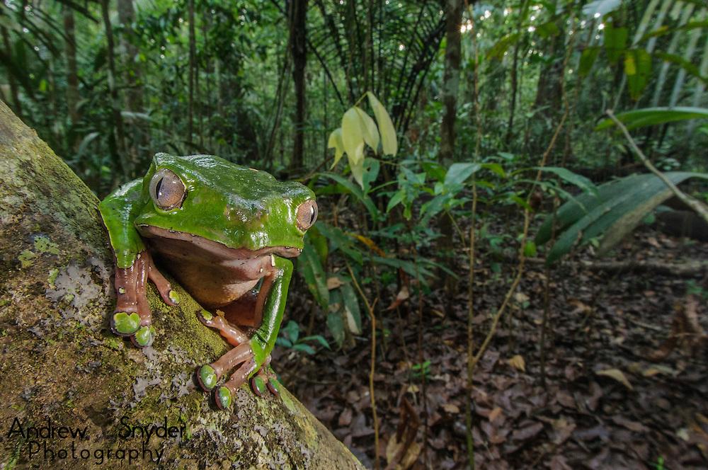 Giant leaf frog (Phyllomedusa bicolor) in the rainforest. Guyana.