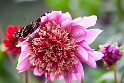 Red Admiral butterfly on Dahlia 'Mambo' - Vanessa atalanta