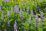 Lupine Wildflowers of Orange County California