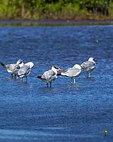 Royal Tern (Thalasseus maximus). Merritt Island National Wildlife Refuge, Merritt Island, Florida. Image taken with a Nikon D4 camera and 500 mm f/4 VR lens.