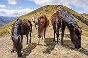 Day 4 of 10: Friendly horses graze at Tupatupa Pass (4400 meters or 14,400 feet) in the Cordillera Blanca, Andes Mountains, Peru, South America. Trek 10 days around Alpamayo in Huascaran National Park (UNESCO World Heritage Site).