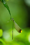 Helicopter Damselfly Male (Microstigma rotundatum) (Pseudostigmatidae)<br /> Yasuni National Park, Amazon Rainforest<br /> ECUADOR. South America