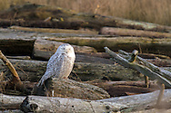 A Snowy Owl (Bubo scandiacus) sleeping on the logs Boundary Bay in Delta, British Columbia, Canada