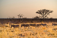 A group of zebra's cross a grassy area in front of trees on the Madikwe Game Reserve, North West, South Africa.