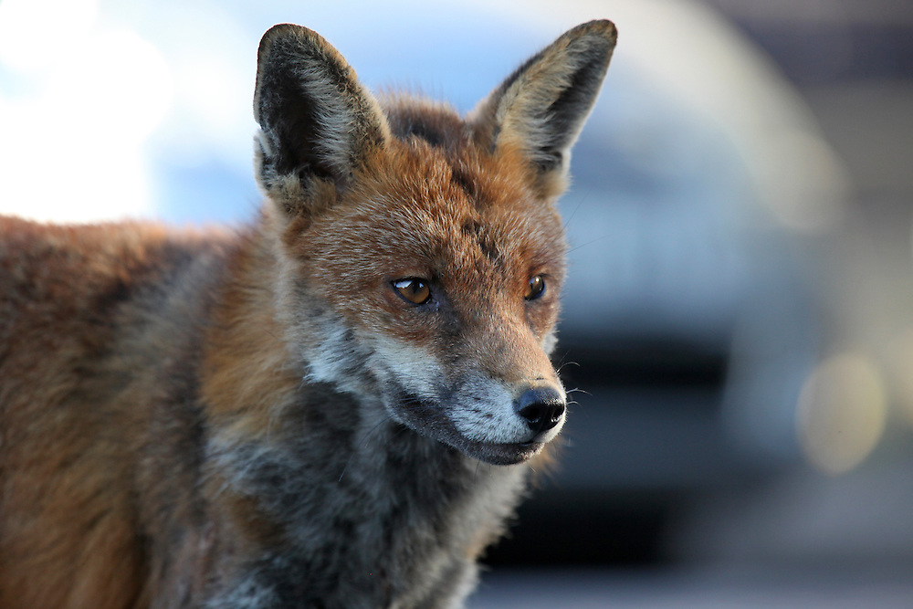 Urban red fox active during the day in a Bristol Car park. I spend one whole year photographing this fox.