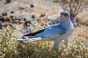 The (southern) pale chanting goshawk (Melierax canorus) is a bird of prey in the family Accipitridae. This hawk breeds in southern Africa. It is a resident species of dry, open semi-desert . It is commonly seen perched on roadside telephone poles.<br /> <br /> This species is 56–65 cm long. The adult has grey upperparts with a white rump. The central tail feathers are black tipped with white, and the outer feathers are barred grey and white. The head and upper breast are pale grey; the rest of the underparts are finely barred in dark grey and white. Its eyes are yellow, the bill is mostly orange, and it has long orange legs. It is paler than the grey-rumped dark chanting goshawk, Melierax metabates.<br /> <br /> The pale chanting goshawk eats a variety of vertebrate prey, mainly lizards, but also small mammals and birds, and large insects. It often walks on the ground.