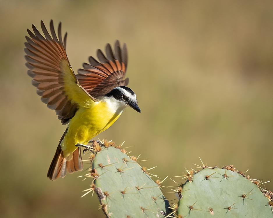 Pitangus sulphuratus, Laguna Seca Ranch, Hidalgo County, south Texas, November 2020