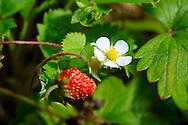 Fresh wild strawberries with flowers