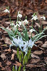 Iris 'Sheila Ann Germaney' (Reticulata) with Galanthus 'Trumps' (snowdrop)