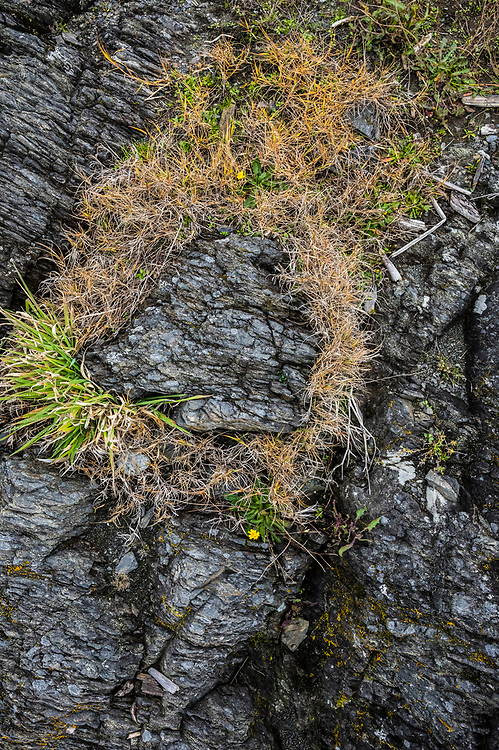 Grass growing from cracks in rocks along the shoreline in American Camp National Historical Park on San Juan Island, Washington, USA.