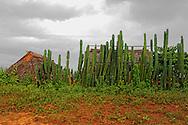 Cactus fence in San Cayetano, Pinar del Rio, Cuba.