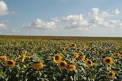 Plantacao de girassol no Parana, Brasil / Sunflower crop field in Parana state, Brazil
