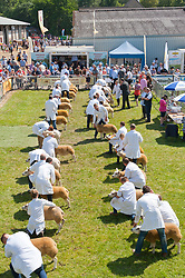 © Licensed to London News Pictures. 23/07/2019. Llanelwedd, Powys, UK. Judging of Texel Sheep continues on the second day of the 100th Royal Welsh Agricultural Show. Founded in 1904, the Royal Welsh Agricultural Show is hailed as the largest and most prestigious event of its kind in Europe, with in excess of 200,000 visitors usually expected for the annual four day show period. Photo credit: Graham M. Lawrence/LNP