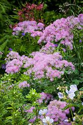 Thalictrum aquilegiifolium 'Thundercloud'  AGM sy. Thalictrum aquilegiifolium 'Purple Cloud' in the Summerhouse Border at Manor Farm House