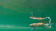 Rat<br /> <br /> Engbretson Underwater Photography
