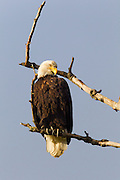 A bald eagle (Haliaeetus leucocephalus) looks down from its perch in a bare tree in Skagit Valley, Washington.