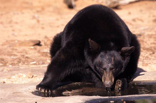 Black Bear, (Ursus americanus) In red rock country of Utah drinking from pool of water. Captive Animal.