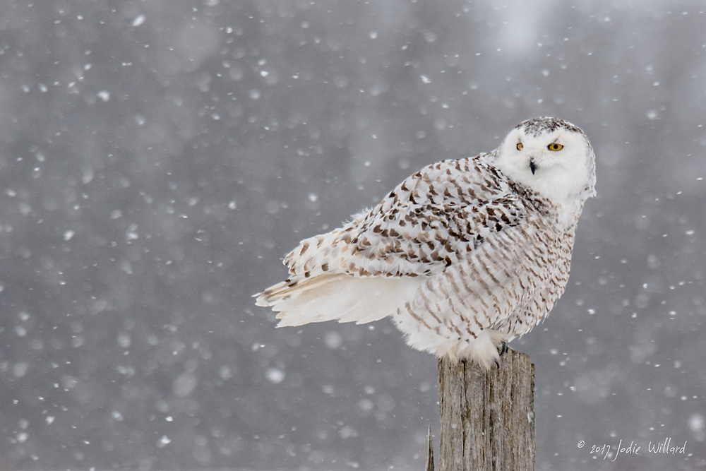 Snowy Owl, The ghostlike snowy owl has unmistakable white plumage that echoes its Arctic origins.<br /> <br /> These large owls breed on the Arctic tundra, where females lay a clutch of 3 to 11 eggs. Clutch size depends upon the availability of food, and in particularly lean times a usually monogamous pair of owls may not breed at all. Parents are territorial and will defend their nests against all comers—even wolves.