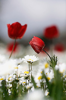 Chamomile and red Poppy Anemones (Anemone coronaria) on a field, Katharo, Crete