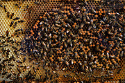 Beehive with worker bees on the honeycomb, Potters Bar field, on the southbank of the Thames. September 2008