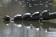 Four turtle on line