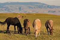 At the top of the Pryor Mountains in Montana lives a herd of wild horses. The combination of mustangs and scenic views makes this a special place. The mountains in the background are the Bighorns.