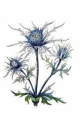 Nouvelle flore coloriée de poche des Alpes et des Pyrénées.<br />Paris,Klincksieck,1906-1912.<br />https://biodiversitylibrary.org/page/10504188