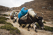 Yak carrying their own feed travel down the trail to Everest Base Camp, Khumbu region, Sagarmatha National Park, Himalaya Mountains, Nepal.