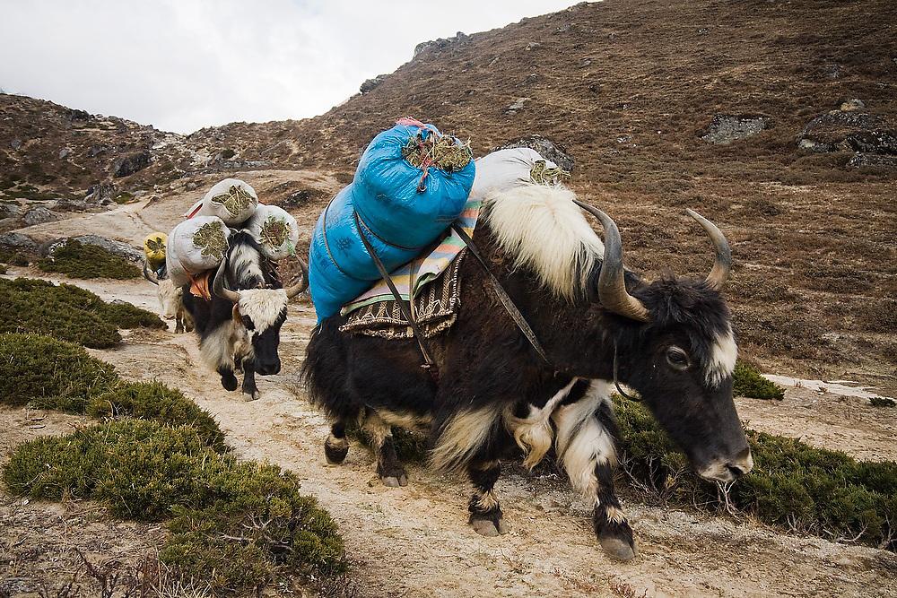 Yak carrying their own feed travel down the trail to Everest Base Camp, Khumbu region, Sagarmatha National Park, Himalaya Mountains, Nepal.