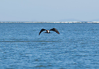 Magnificent frigatebird, Fregata magnificens, near the mouth of the Tarcoles River, Costa Rica