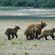 Alaskan Brown Bear, (Ursus middendorffi) Mother and three cubs running. Alaskan Peninsula.