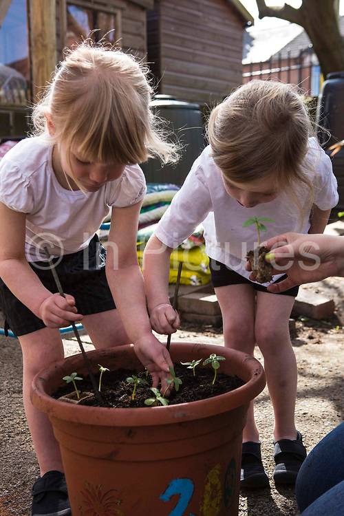 Two young beautiful blonde girls (5-6) plant small green seedings in a large flower pot outdoors in the the playground of South Farnborough Infant School, Hampshire, UK. The adult hand of their teacher passes them the next seedling to be planted.