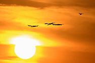 Fliegende Waldstörche (Mycteria americana) bei Sonnenuntergang, Pantanal, Brasilien<br /> <br /> Flying wood storks (Mycteria americana) at sunset, Pantanal, Brazil