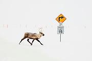 Alaska, Alpine Oilfield, North Slope. A caribou makes its way across the Alpine Resupply Ice Road.
