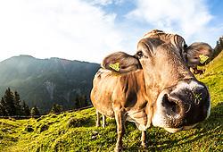 THEMENBILD, BERGBAUERN IN TIROL, eine enthornte Braunvieh Kuh (Rinderasse) auf einer Bergwiese vor dem Kaisergebirge auf dem Heuberg nahe der Ortschaft Walchsee in Tirol, Oestereich. Bild aufgenommen am 11.09.2012. EXPA Pictures © 2012, PhotoCredit: EXPA/ Juergen Feichter